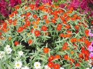 small annual flowers with bright colors