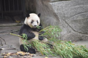 You You has a bamboo snack.