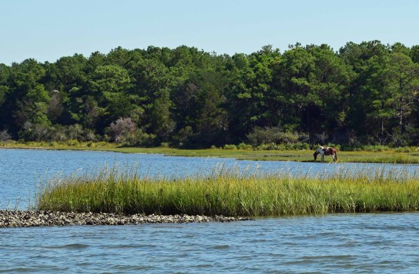 """""""Yankee Spirit"""" enjoys a little marsh grass.  You can see one of the many local oyster beds in the foreground."""