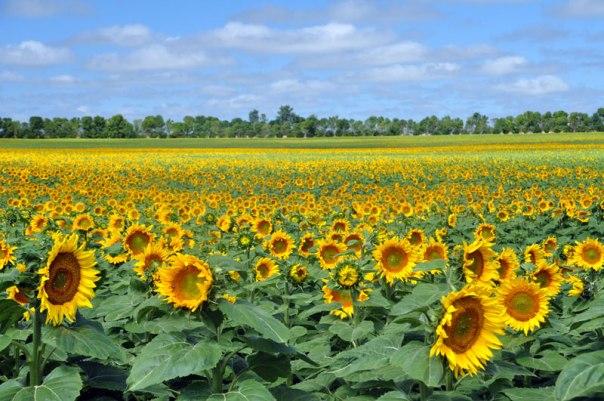20130814201702_hunter-sunflowers-4
