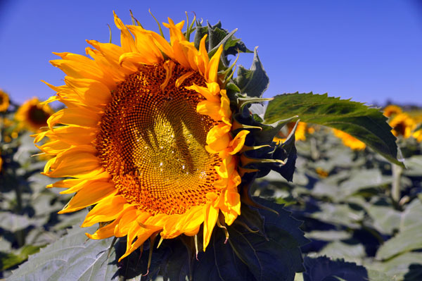 Hunter-Sunflowers-1