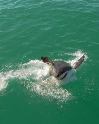 Great White Shark in South Africa.