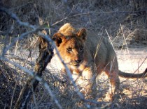 A.Lion.Sabi Sands.South Africa.DSCN2555