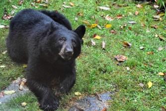 NC.Bear.DSC_0047 - Copy
