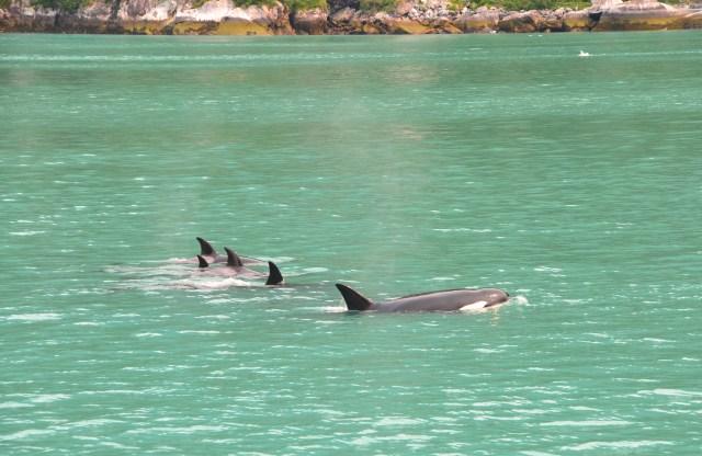 Alaska.Orcas
