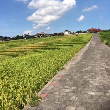 The rice paddy road in Canggu, Bali