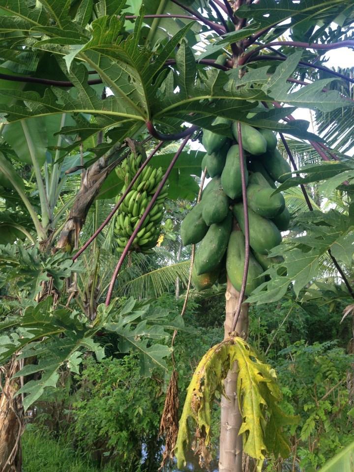 Так растут папайя и бананы.