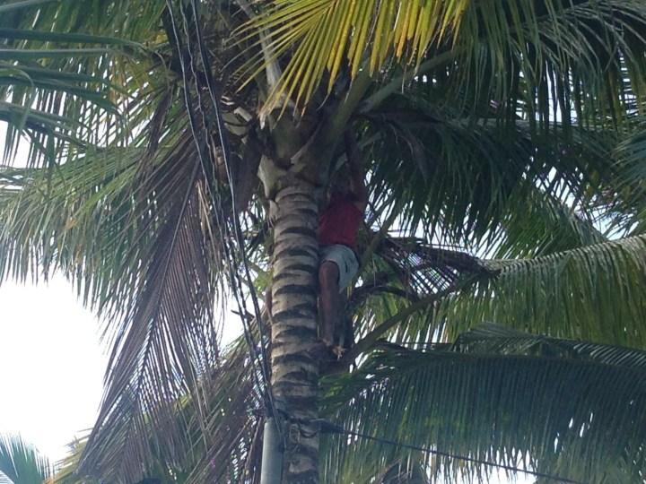 Балинезиец залез на пальму, чтобы обрубить сухую ветку и старые кокосы, готовые упасть в любой момент на тропу.