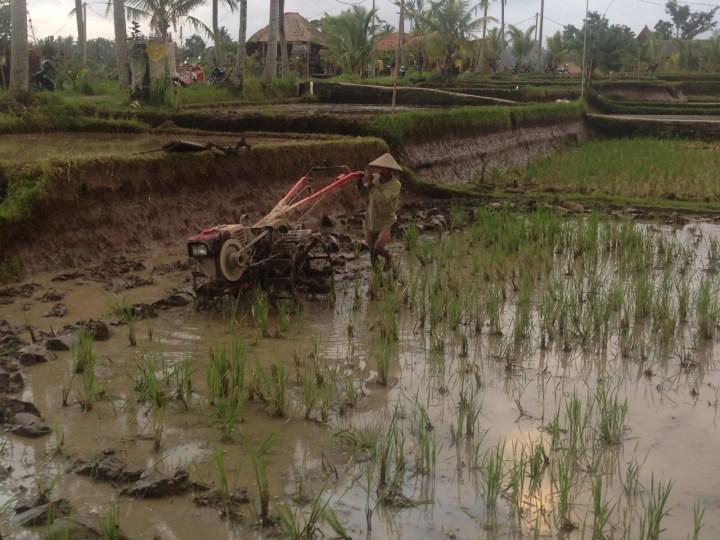 Ручной трактор или мотоплуг? Подготовка поля для следующего поколения рисовых побегов.