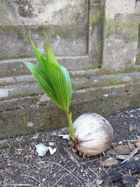 Пррастающий кокос