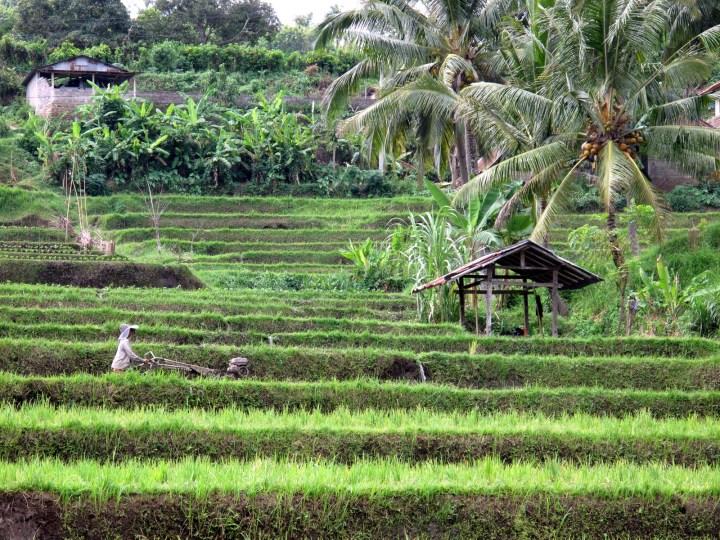 Кокосвые пальмы на рисовой террасе