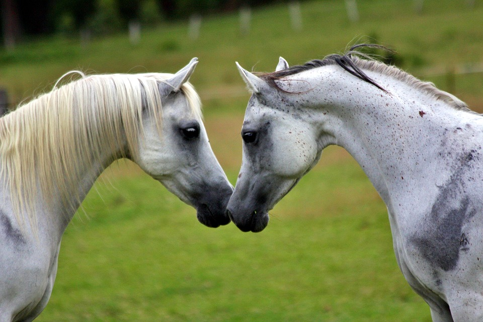 Arabians, Horses, Equines, Animals, Meeting, Greeting