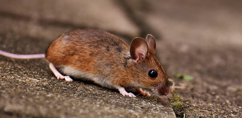 Image result for wood mouse