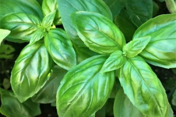 The Great Basil Harvest – Pesto