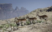 Simien 9 Bwahit pass Ibex