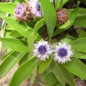 Globularia amygdalifolia (17)