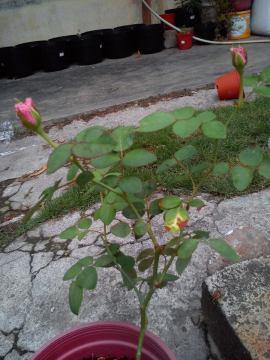 Mawar Hibrida Ungu