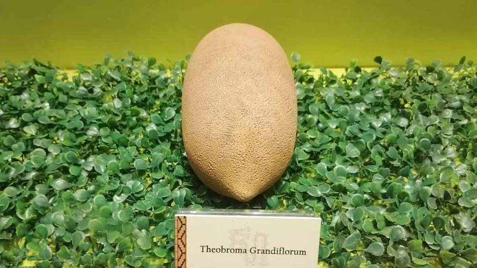 cacao theobroma grandiflorum