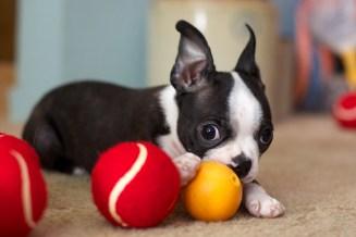 boston-terrier-puppy-balls