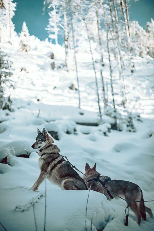 Lou & Nessie   Les louves de Balme