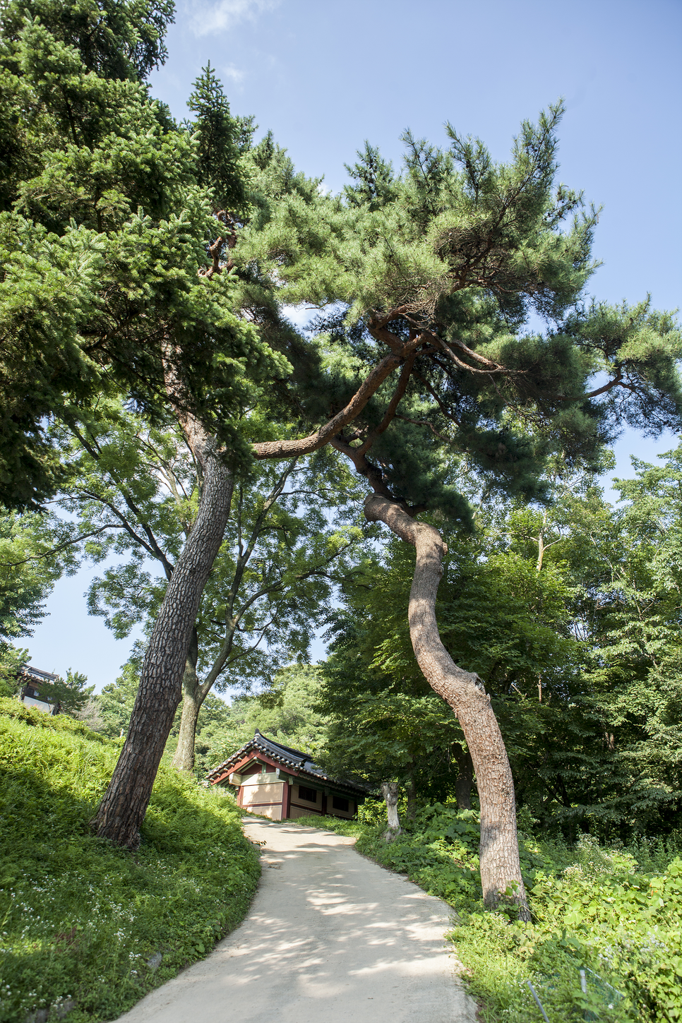 giant pine trees are guarding the entrance.