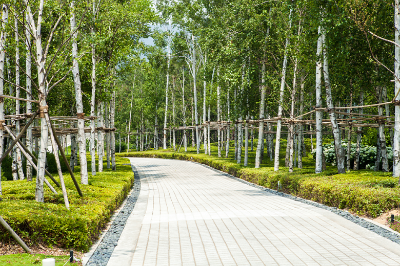 A white birch path