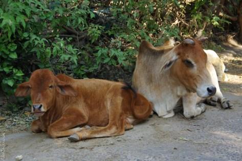 Die heiligen Kühe