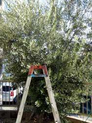 神戸の庭で採れたオリーブ