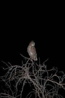 great-horned-owl.jpg