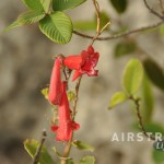 Seminole Canyon wildflowers-3