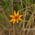 Seminole Canyon wildflowers-6