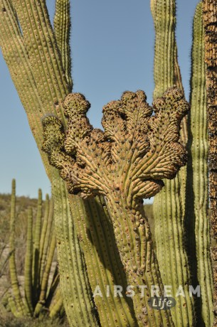 Organ Pipe crestate