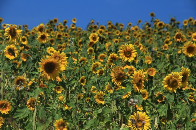 Sunflower Field in Luxembourg