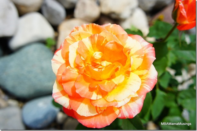 Citrus splash rose