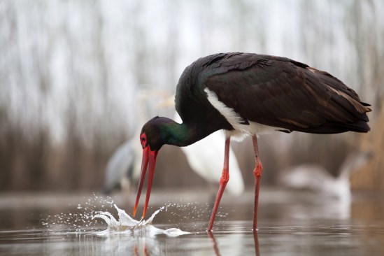 Black stork (Ciconia nigra) fishing on the lake
