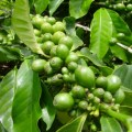 Свойства зеленого кофе: мифы и реальность