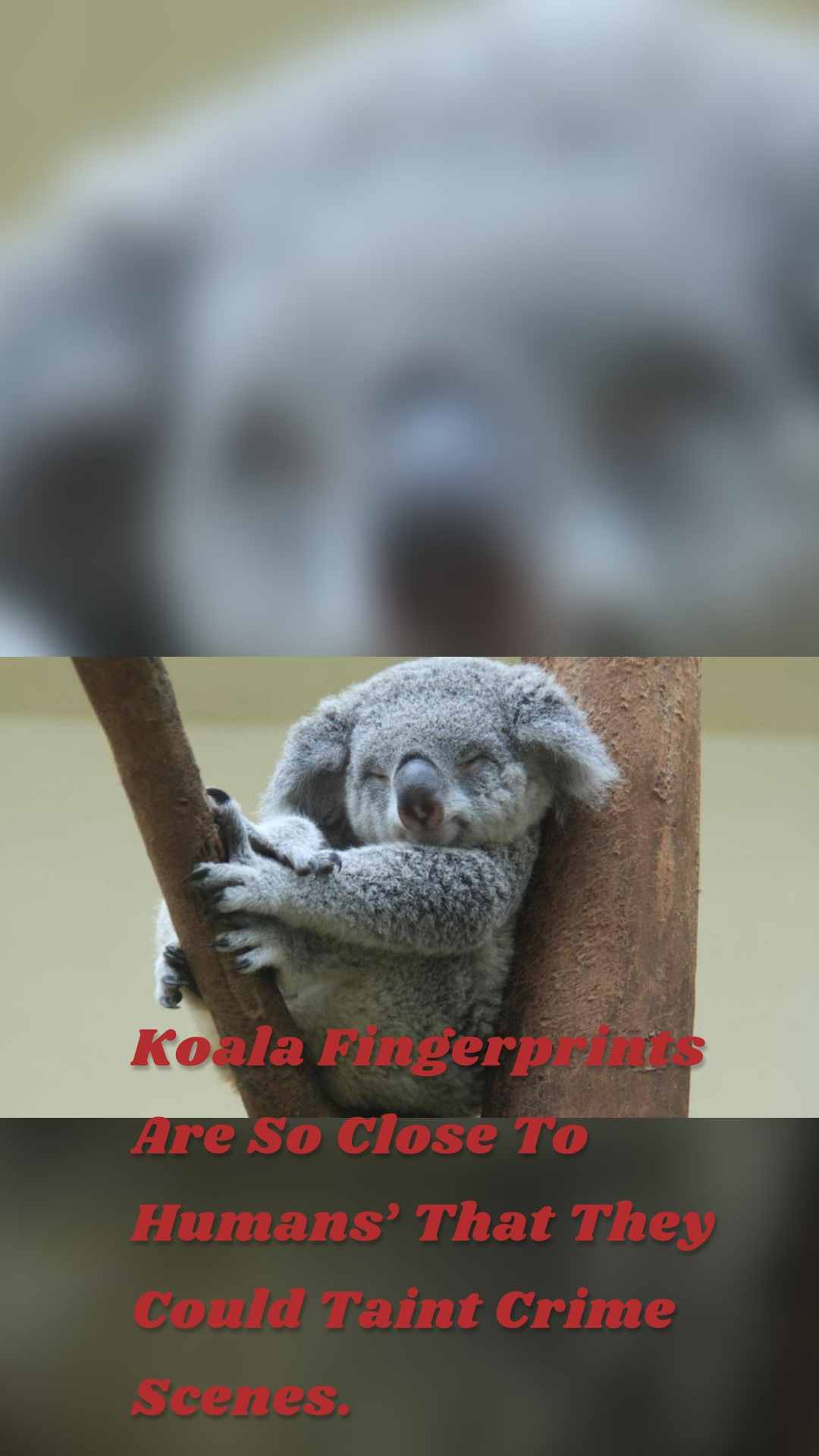 Koala Fingerprints Are So Close To Humans' That They Could Taint Crime Scenes.