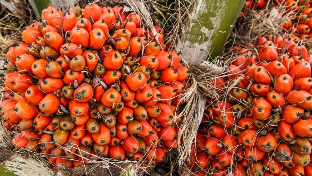 Ripe-Palm-Oil-on-Tree