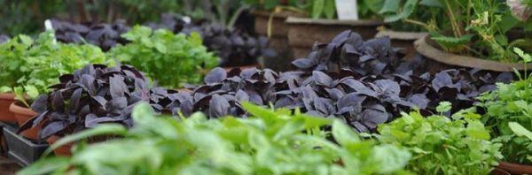 Growing Indoor Edibles - Dave Hanson