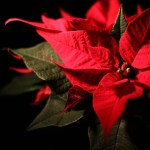 Poinsettia Orders By Dec 19