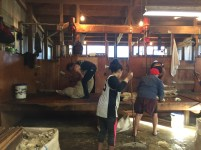 New Zealand Sheep Shearing