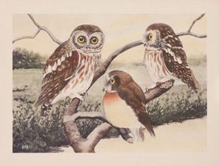 Saw-whet Owl, by Rex Brasher