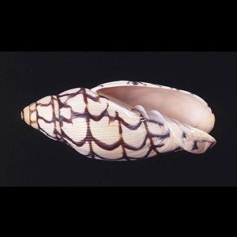 BEDNALL'S VOLUTE, Volutoconus bednalli (Brazier, 1878), Family, Volutes, Volutidae, Australia