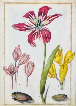 Study of a tulip, two crocus, and two beetles, c. 1690 Maria Sibylla Merian, Black lead, pen and black ink, watercolor and bodycolor with gilt framing lines on vellum, Arader Galleries.