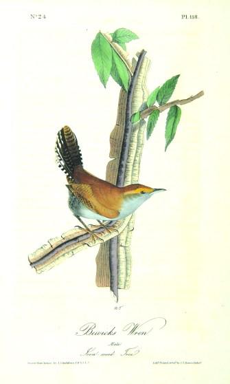 Bewick's wren, 1840–1844, John James Audubon, Copperplate engraving, from Birds of America Octavo Edition.