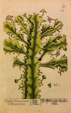 The True Euphorbium, 1757-1773, Christopher Jacob Trew, after Elizabeth Blackwell, from Herbarium blackwellianum, Nuremburg, Plate 339, Gift of John Glynn, 2016.7.10.