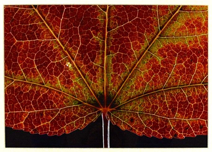 Sweet gum (Liquidambar styraciflua), 2002, Alan Heilman
