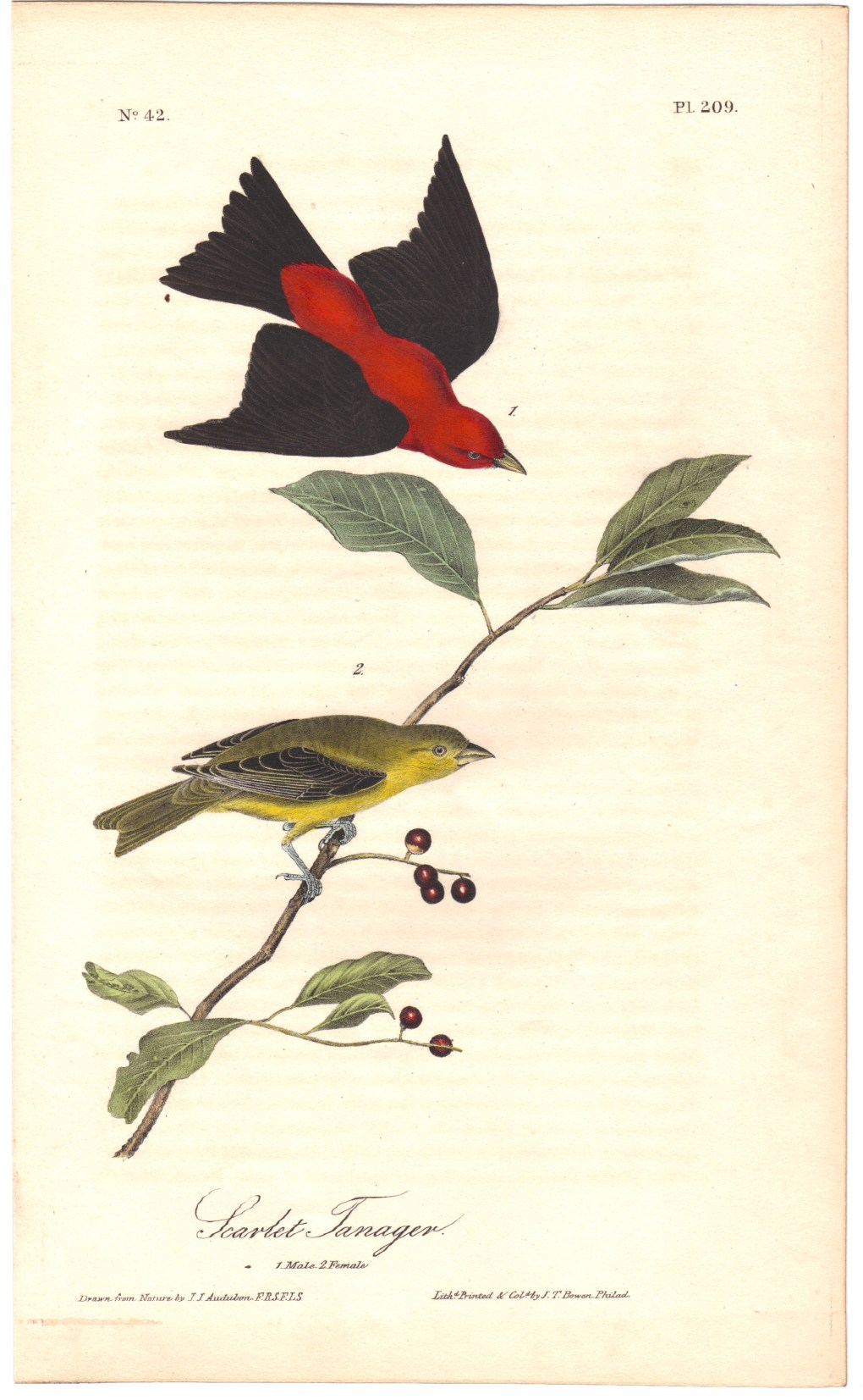 Scarlet Tanager, Plate 209