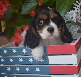 cute therapy dog king charles spaniel
