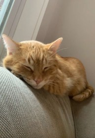 golden cat sleeping on a couch